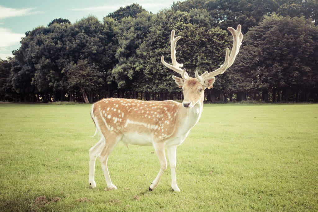 Ciervo en Dublín